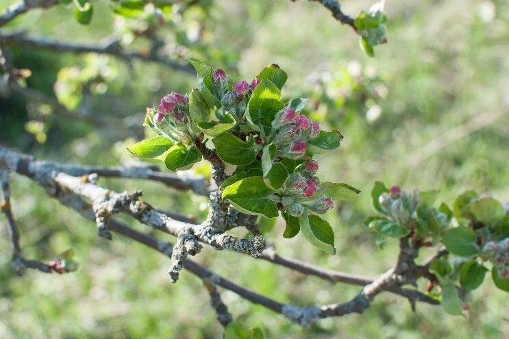 Что такое лишайник и как от него избавиться на яблоне?
