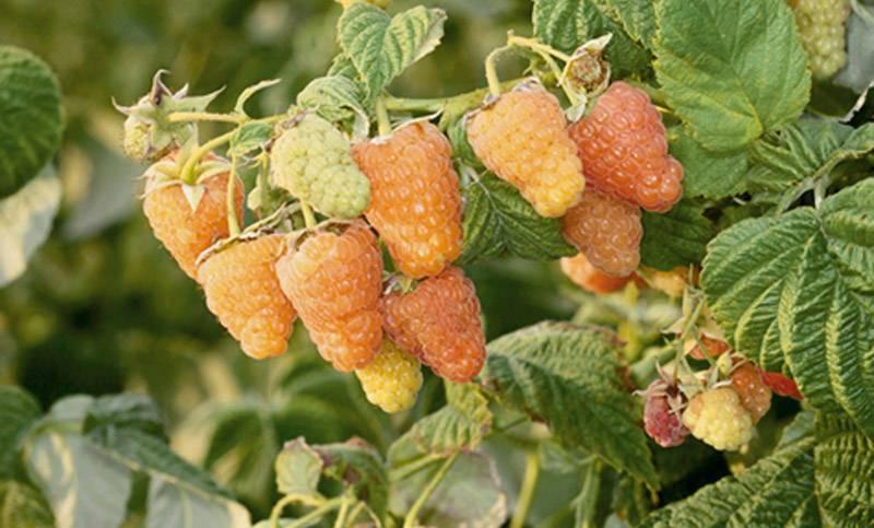 Крупные масштабы выращивания малины в открытом грунте: технология