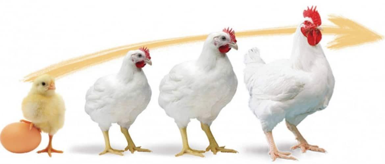 Что делать, если не растут цыплята несушки? - общая информация - 2020