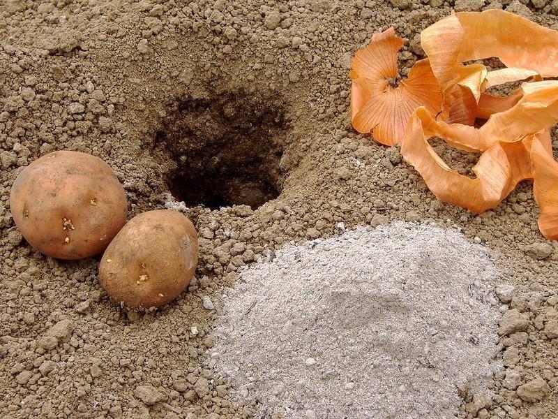 Сорт картофеля каменский: описание, посадка и уход