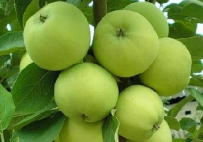 Характеристика и особенности выращивания яблони сорта коробовка