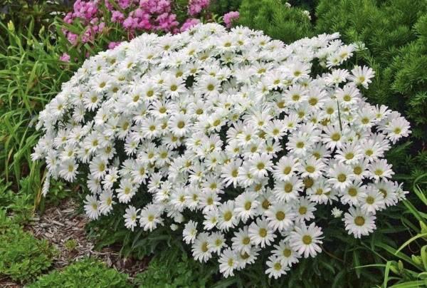 Ромашка садовая: виды, правила размножения и ухода