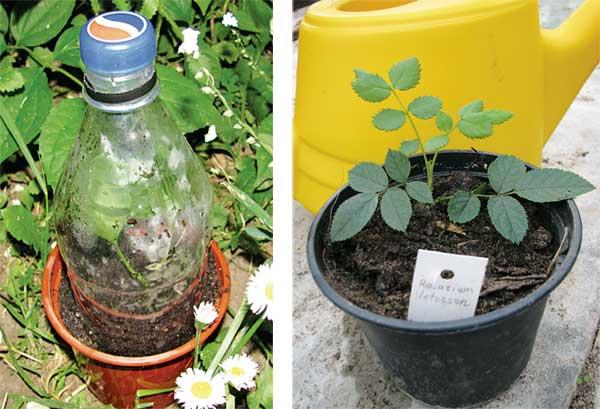 Как поливать розы летом в саду. как правильно поливать розы в жаркую погоду
