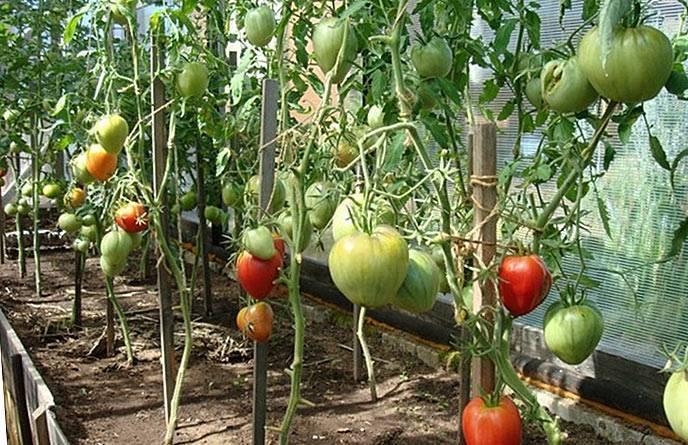 Нужно ли обрывать листья у томатов?