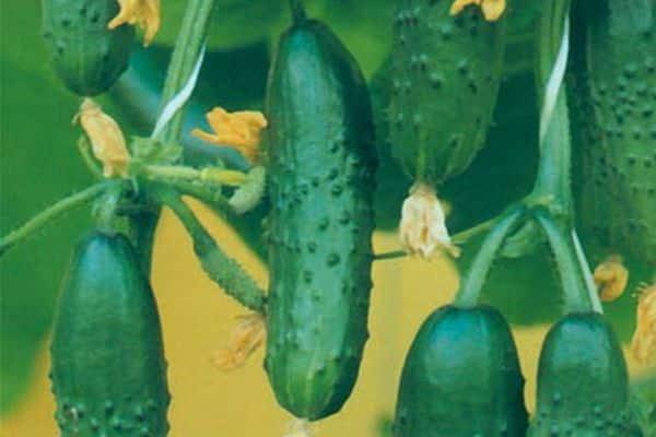 Огурец «настоящий полковник f1»: описание сорта и особенности агротехники