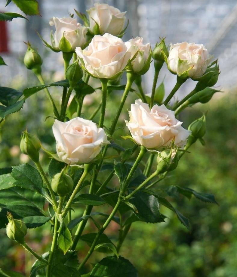 Почвопокровные розы посадка, уход, сорта с фото