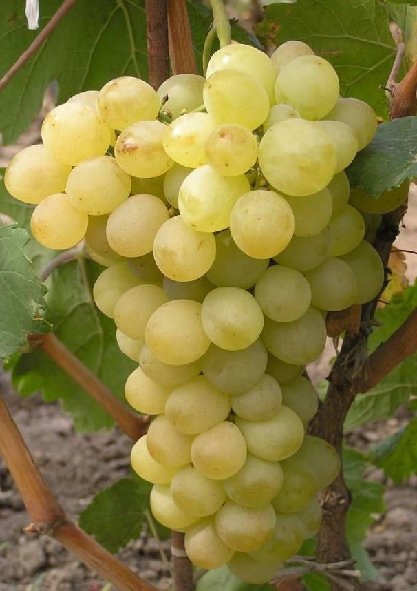 Чёрный, розовый и белый — такой разный виноград «оригинал»