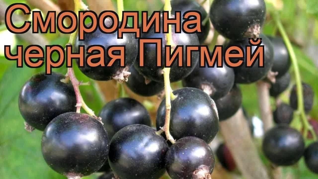 Чёрная смородина сорта пигмей — сладкие ягоды без особых хлопот