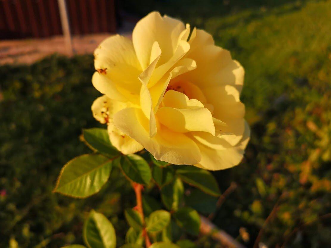 Почему плохо растут розы