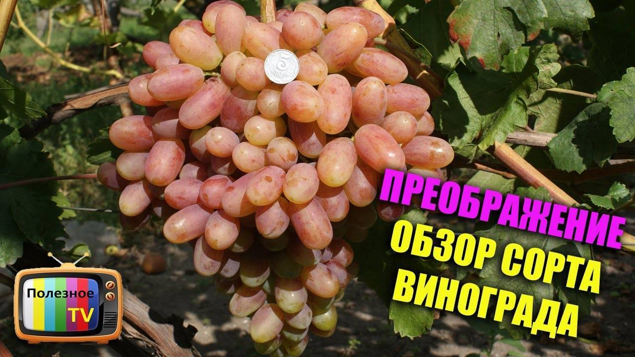 Виноград «преображение»: характеристика и описание