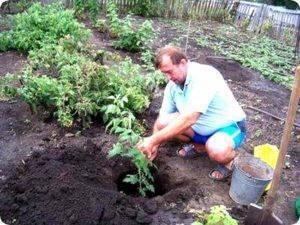 Чем подкормить ежевику весной. удобрения на фермерских участках. время посадки саженцев