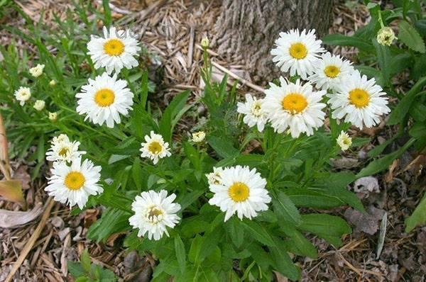 Ромашка садовая (51 фото): виды цветка, описание нивяника, родина растения, леукантемум наибольший, выращивание из семян