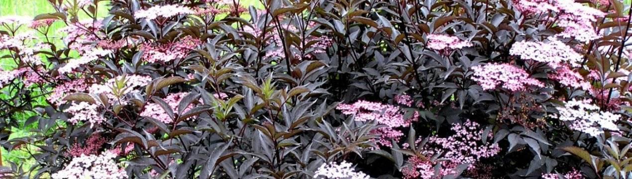 Растение бузина: посадка и уход, фото, выращивание в саду, свойства и противопоказания