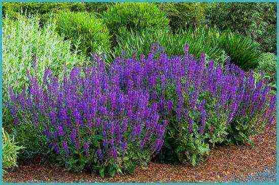 Шалфей дубравный: описание, посадка, размножение и уход за цветами
