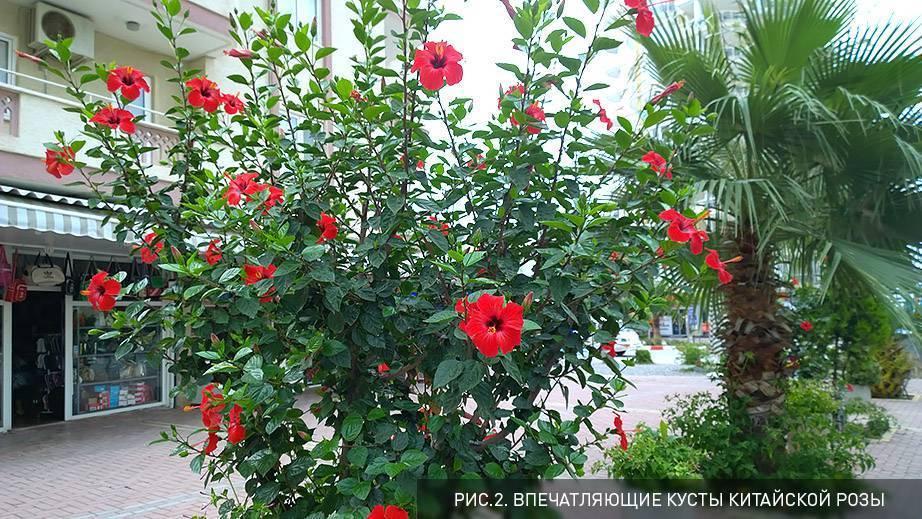 Гибискус или каркаде: польза и вред растения и чая на его основе