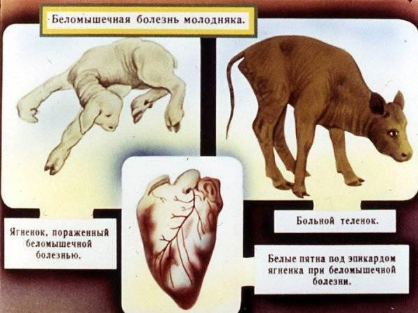 Болезни телят: разновидности, инфекционные, незаразные, профилактика
