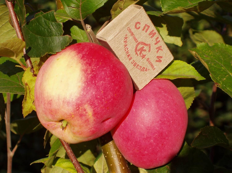 Урожайная яблоня летнее полосатое: описание, фото