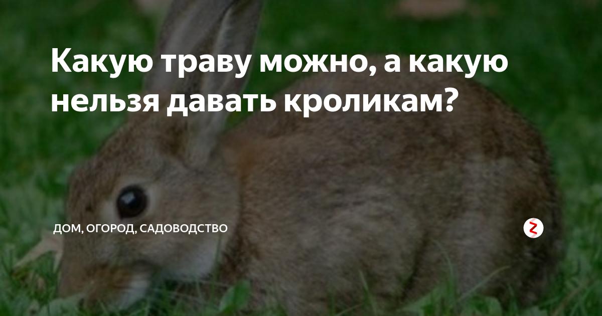 Можно ли кроликам давать цикорий