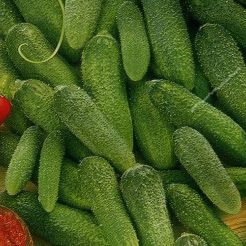 Сорт огурцов хрустик f1: описание, характеристика, выращивание и уход