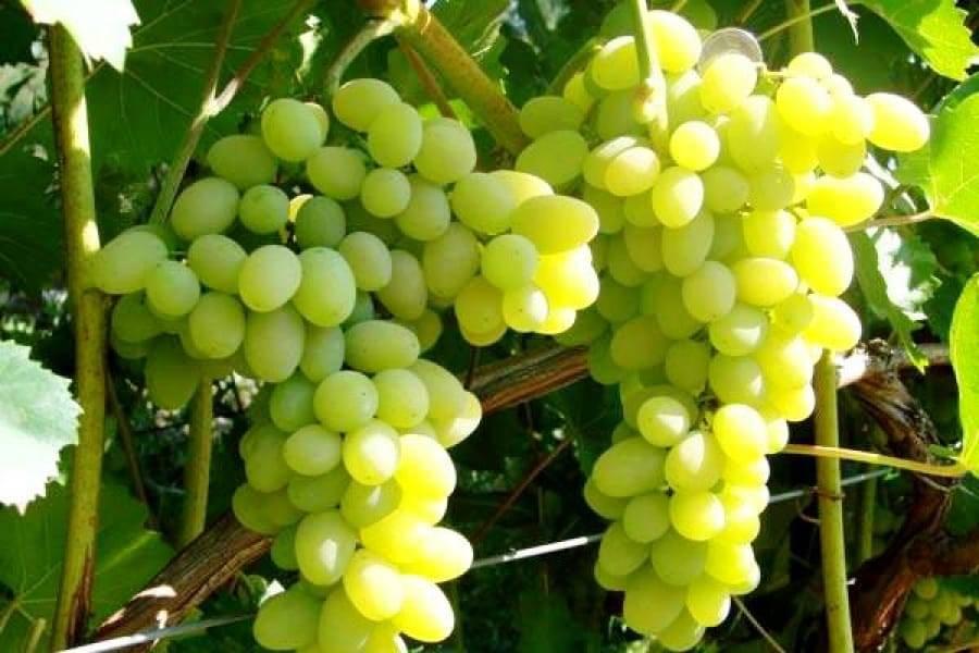 Выращивание винограда в ленинградской и московской областях: посадка, уход, особенности размножения