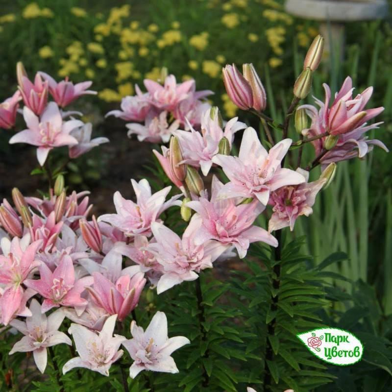 Природные виды лилий и гибриды: описание и названия сортов с фотографиями, советы по посадке