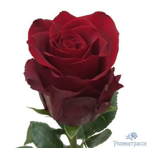 Роза: описание цветка, группы и сорта с фото