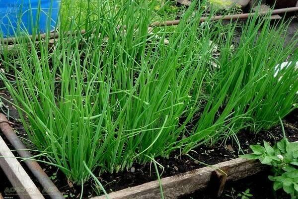 Шнитт-лук — полезная культура для ленивых