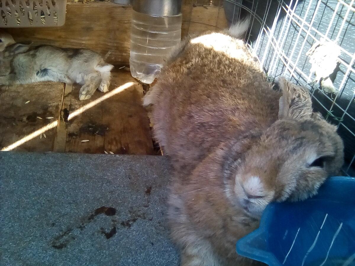 Солнечный и тепловой удар у кроликов, первая помощь зверькам - общая информация - 2020