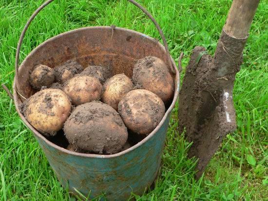Как сажать картошку? как правильно сажать картошку, чтобы получить хороший урожай?