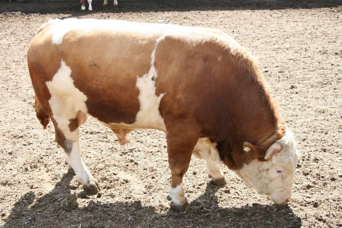 Как откормить бычка до 700 кг
