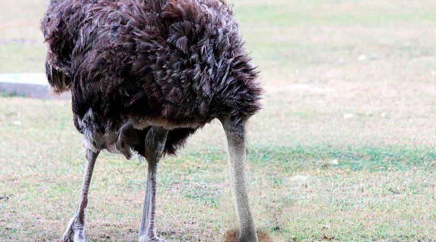 Прячет ли страус голову в песок в минуты опасности?