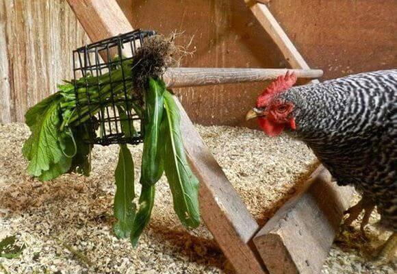 Какую траву курам давать. какой травой можно кормить кур несушек и бройлеров