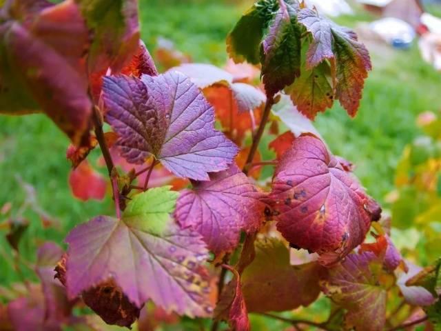 5 народных способов, чем обработать смородину от тли. пусть урожай смородины вас радует! | красивый дом и сад