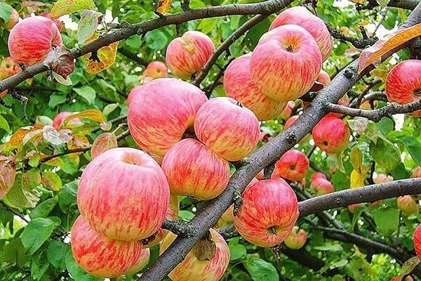 О яблоне Авенариус: описание сорта, характеристики, агротехника, выращивание