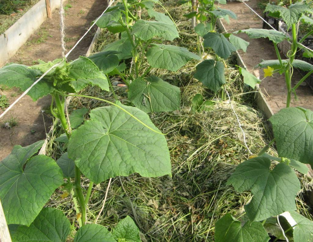 Как выращивать рассаду огурцов из семян чтобы она не вытягивалась и что делать чтобы не болела?