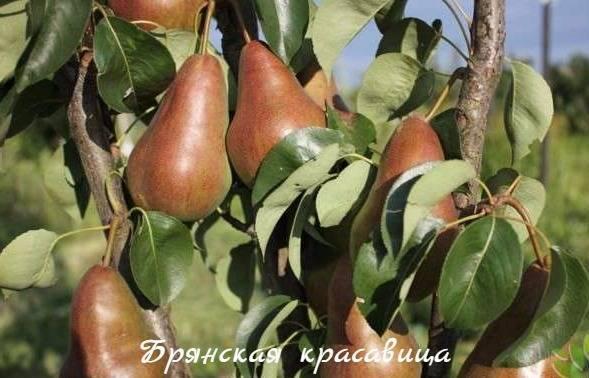 Груша брянская красавица – лучший сорт для центральной полосы россии