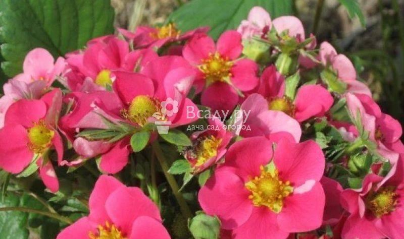 Земляника ампельная - сорта, уход и выращивание