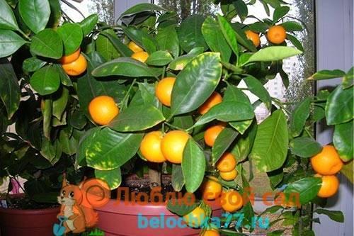О выращивании апельсина из косточки: как прорастить семечко, уход за ростком