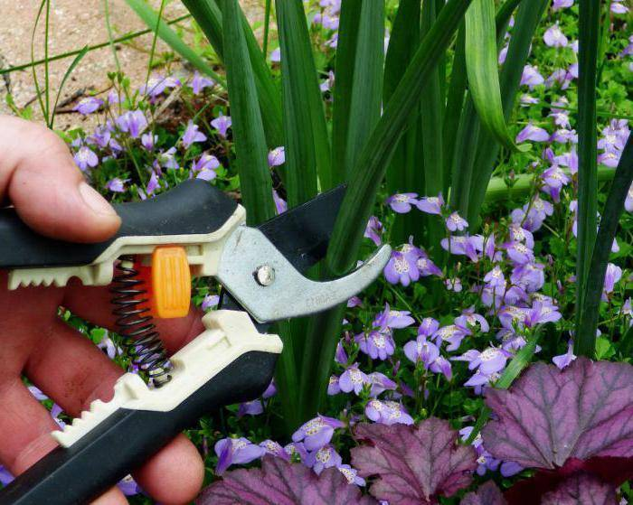 Ирисы — когда обрезать после цветения  на зиму и что дальше делать ?