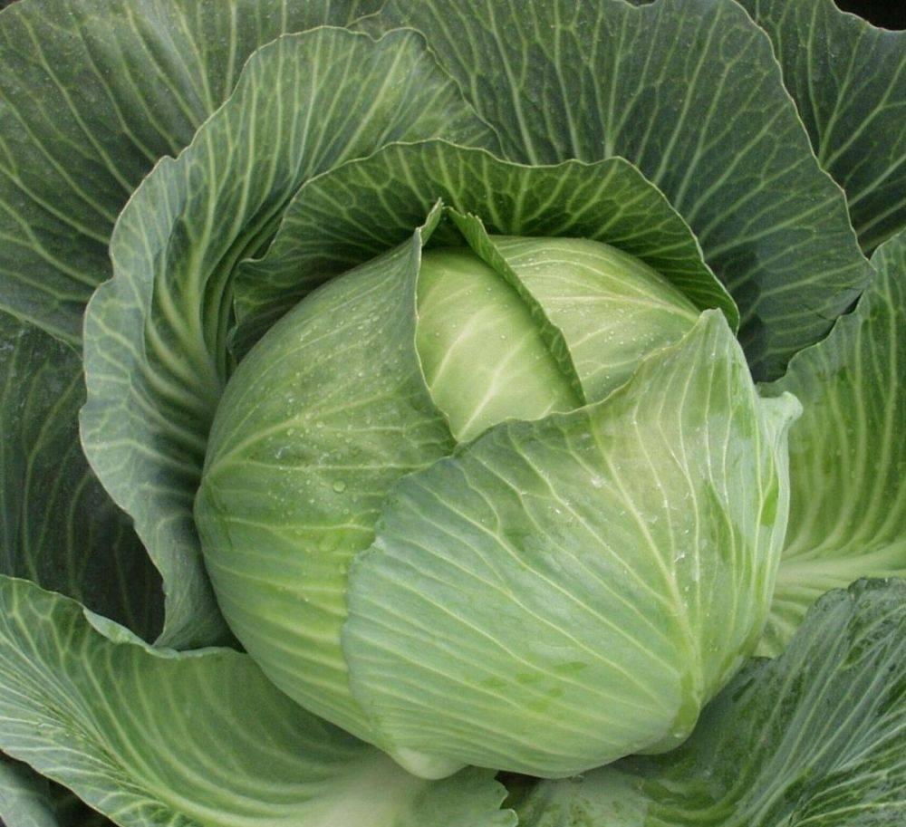 Характеристики и описание сорта капусты колобок