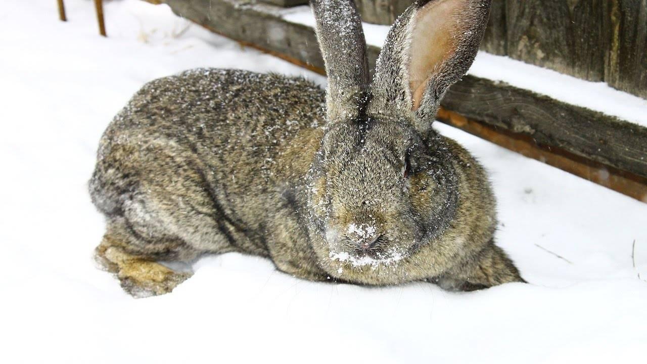 Особенности разведения, выращивания и кормления кроликов великанов. фото популярных пород