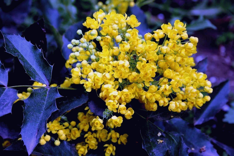 Магония падуболистная: посадка и уход в открытом грунте, фото, выращивание из семян