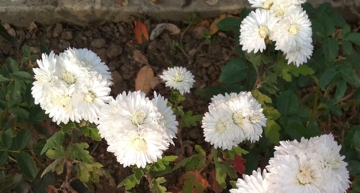 Черенкование хризантем осенью в домашних условиях. как размножить хризантему из букета. простой способ черенкования