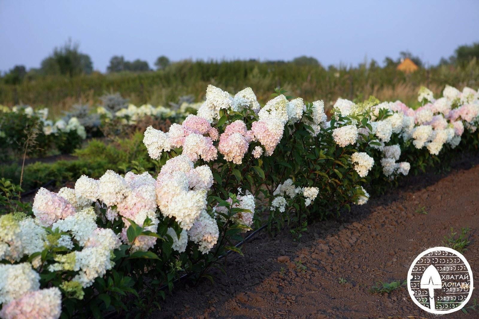 Вид гортензии ванилла фрейз: характеристика цветов, посадка и уход в открытом грунте