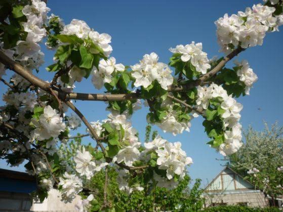 Когда цветет яблоня в каком месяце