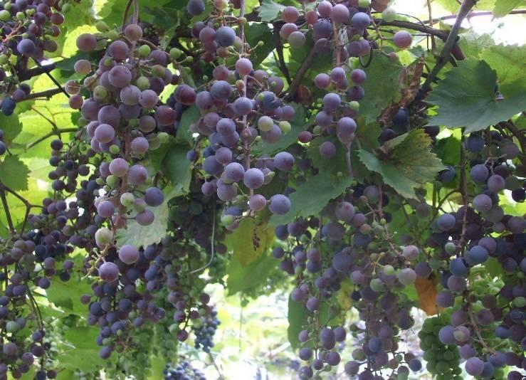Как правильно выращивать виноград на даче: какой посадить и как ухаживать