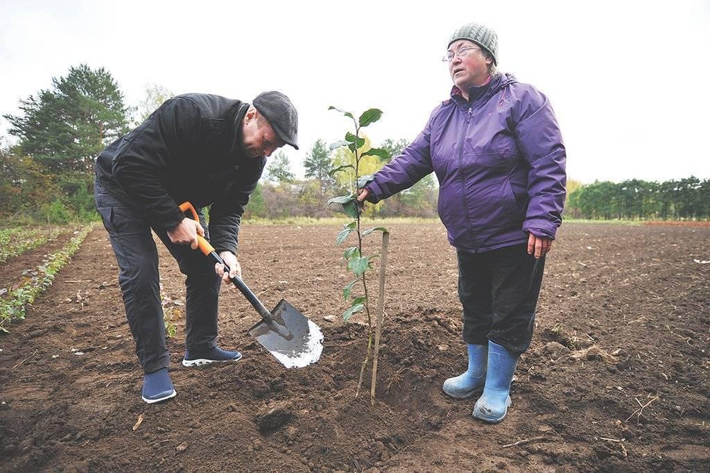 Как посадить яблоню весной. как посадить саженец яблони весной?