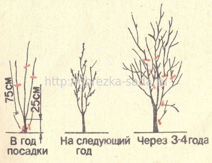 Как посадить сливу осенью - подробная инструкция