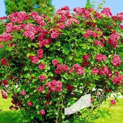 Морщинистая роза: сорта и особенности выращивания