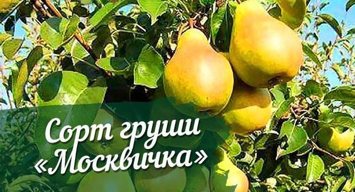 Груша «москвичка»: описание сорта, фото, отзывы, посадка и уход